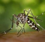 Zanzara tigre e ambrosia: come limitare la diffusione